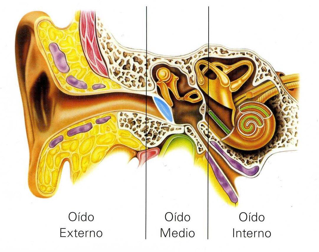 Anatomía del Oído | Gabinete Internacional Auditivo